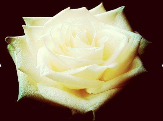 Baño de Rosas Blancas para Atraer el Dinero